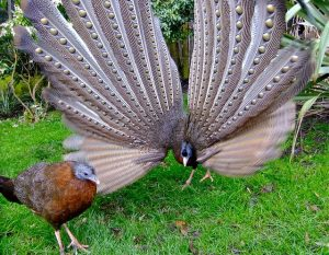 Evolution of Beauty; courtship display of th Great Argus